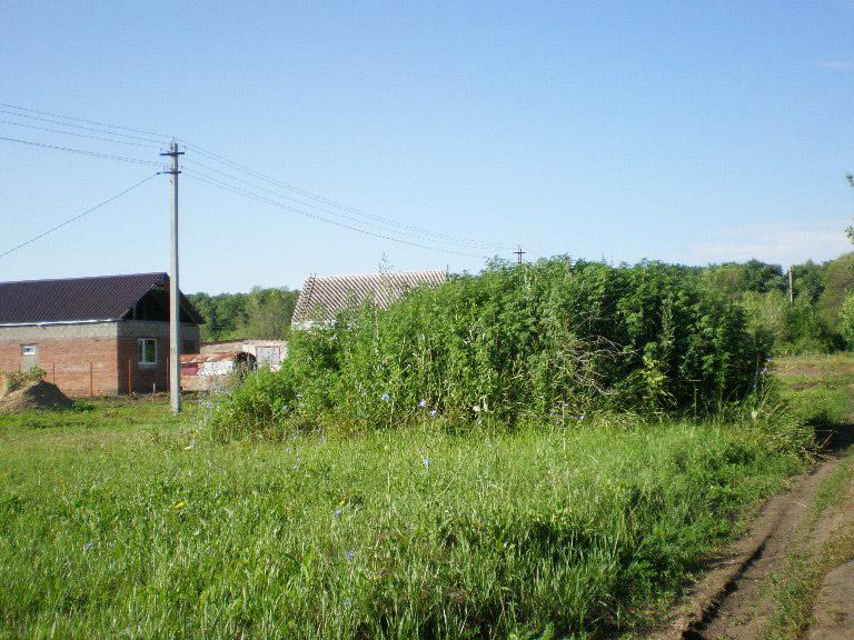 «Гора» из амброзии                         на ул. Краснодарской