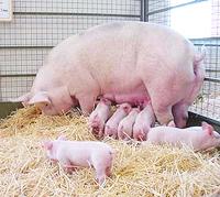 Павловский район, чума свиней