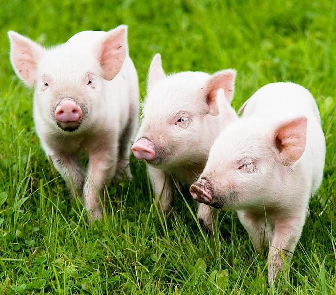 Себестоимость производства свинины в России выросла почти на треть