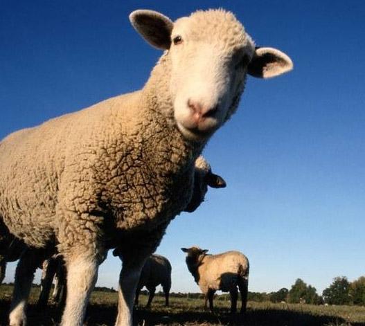 Субсидии для овцеводов