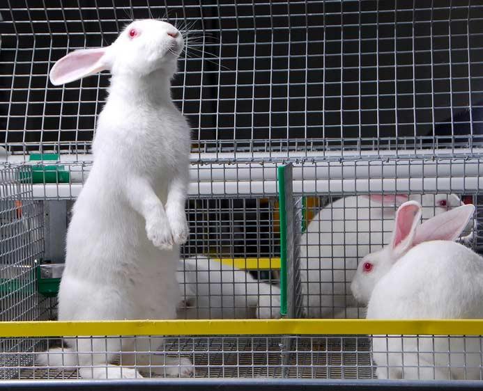 Поддержка кролиководства