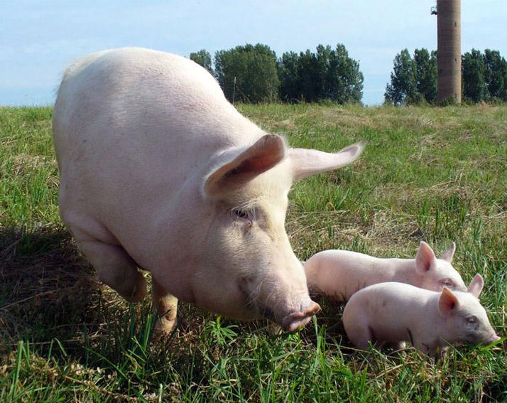 Почему нельзя содержать свиней на подворье