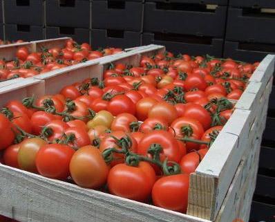 Приглянулись... томаты