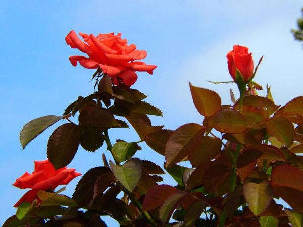 Розы в честь любимого края