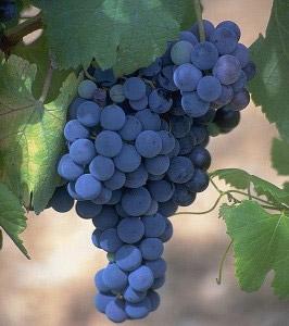 Учеба для фермеров и ЛПХ по виноградарству