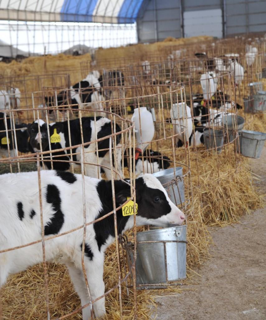 Фермы по выращиванию  ремонтных тёлок