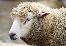 Покорная овца