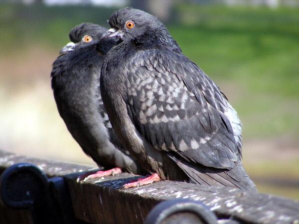 Украл 32 голубя
