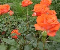 Помешали... розы